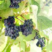 Black Grapes at Vine